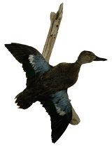 Blue Winged Teal Mount