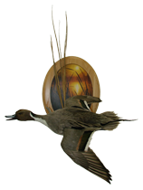 Pintail Duck Mount